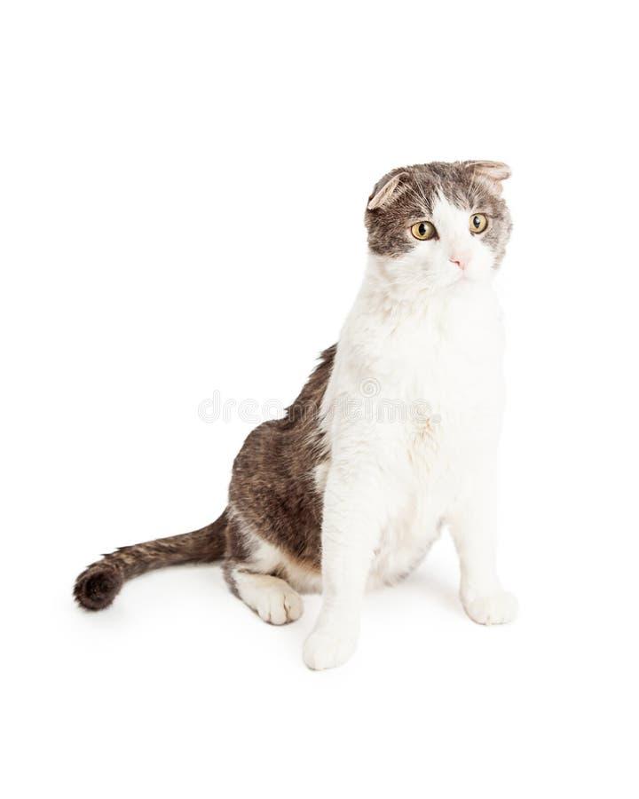 Geduldige inländische Shorthair gemischte Zucht Cat Sitting stockbild