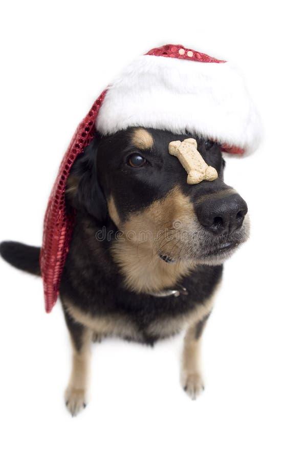 Geduldige Kerstmis pooch royalty-vrije stock afbeelding