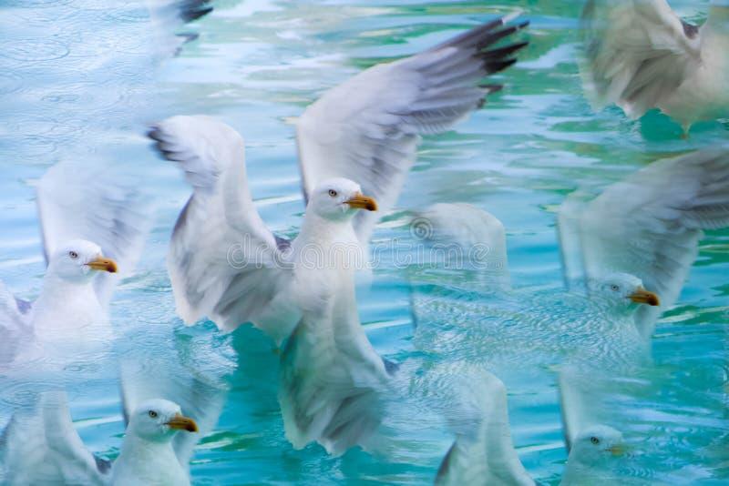 Gedupliceerde zeemeeuwen die de vlucht beginnen royalty-vrije stock afbeelding