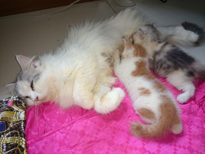 Geeft de leuke kat van Thailand de borst royalty-vrije stock afbeeldingen