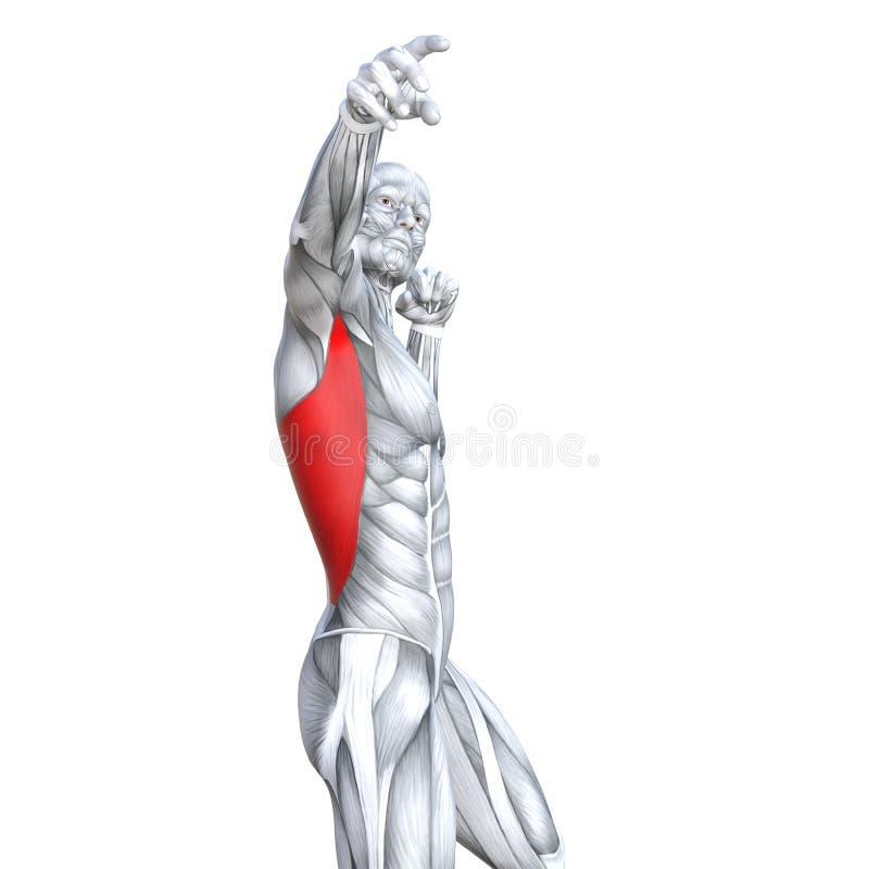 geeignete starke menschliche Anatomie des Kastens der Illustration 3D lizenzfreie abbildung