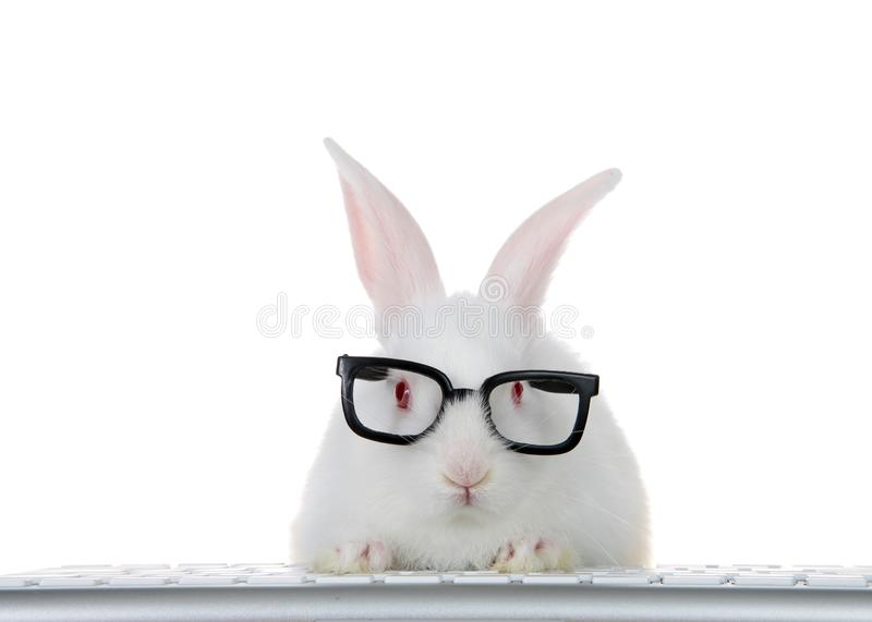 Geeky computer savvy baby bunny isolated stock images