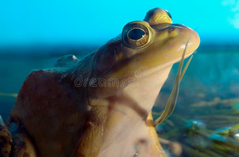 Geel amfibie het oog blauw milieubehoud van de brulkikvorskikker stock fotografie