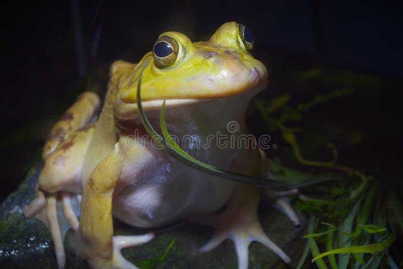Geel amfibie het oog blauw milieubehoud van de brulkikvorskikker stock foto's