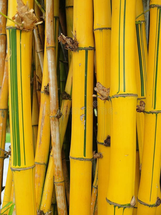 Geel bamboe stock foto's