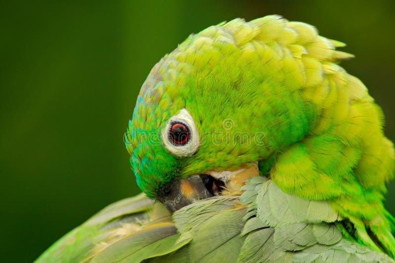 Geel-bekroond Amazonië, Amazona-ochrocephalaauropalliata, portret van lichtgroene papegaai, Costa Rica stock afbeelding