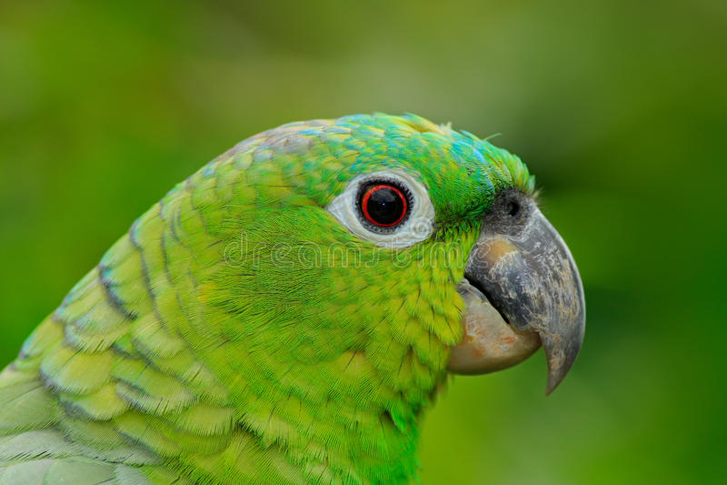 Geel-bekroond Amazonië, Amazona-ochrocephalaauropalliata, portret van lichtgroene papegaai, Mexico royalty-vrije stock fotografie