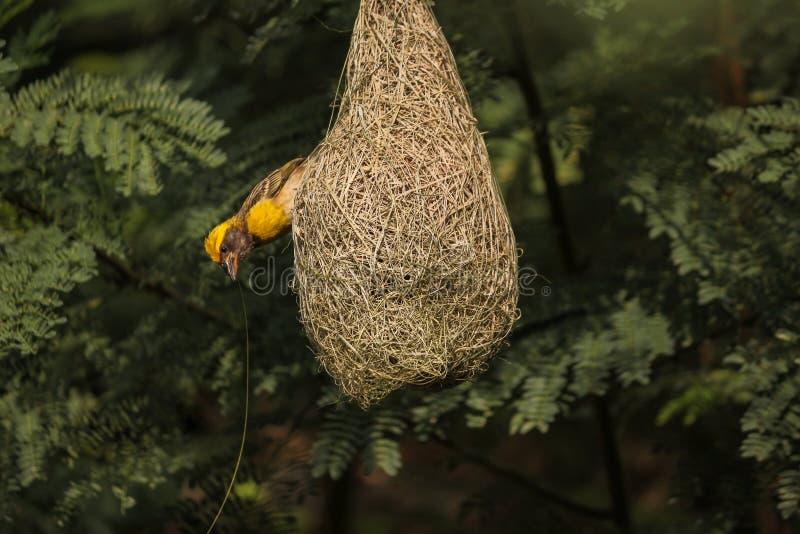 Geel bekroond het fokkenmannetje die van de bayawever zijn nest zorgvuldig weven stock afbeeldingen