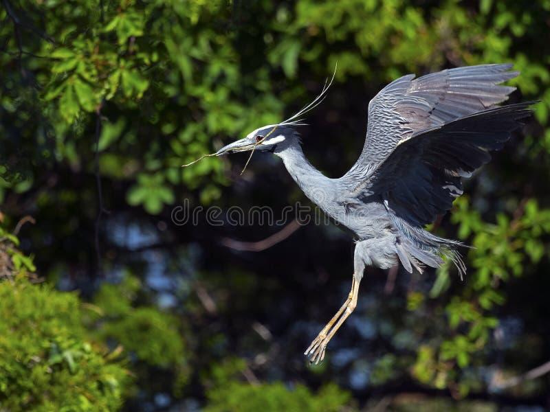 Geel-bekroonde Nachtreiger die met Stok vliegen stock foto's