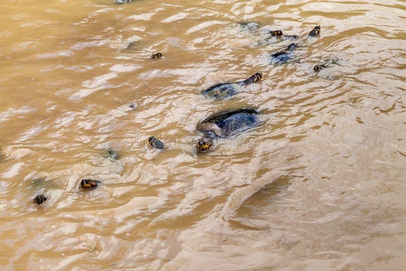 Geel-bevlekte de Rivierschildpad van Amazonië stock foto
