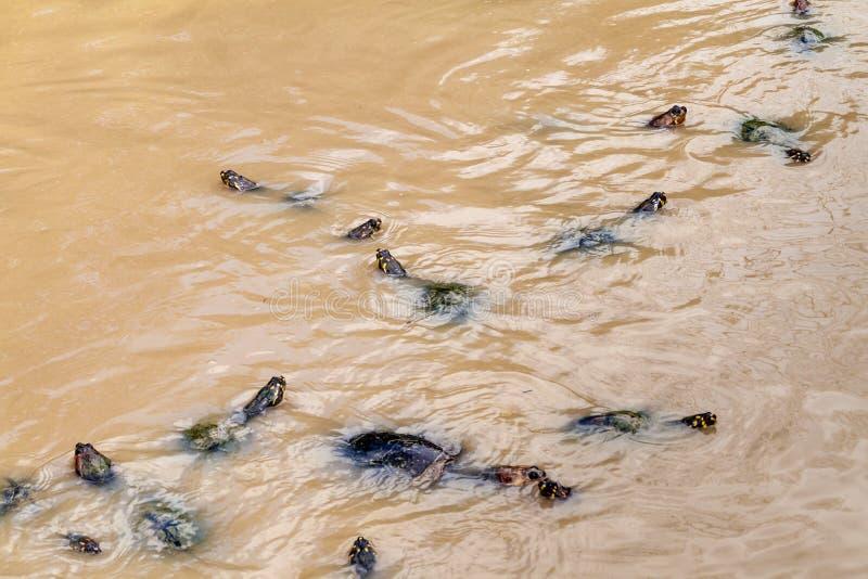 Geel-bevlekte de Rivierschildpad van Amazonië royalty-vrije stock afbeelding