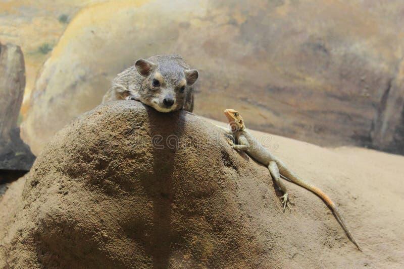 Geel-bevlekte rots hyrax stock foto's