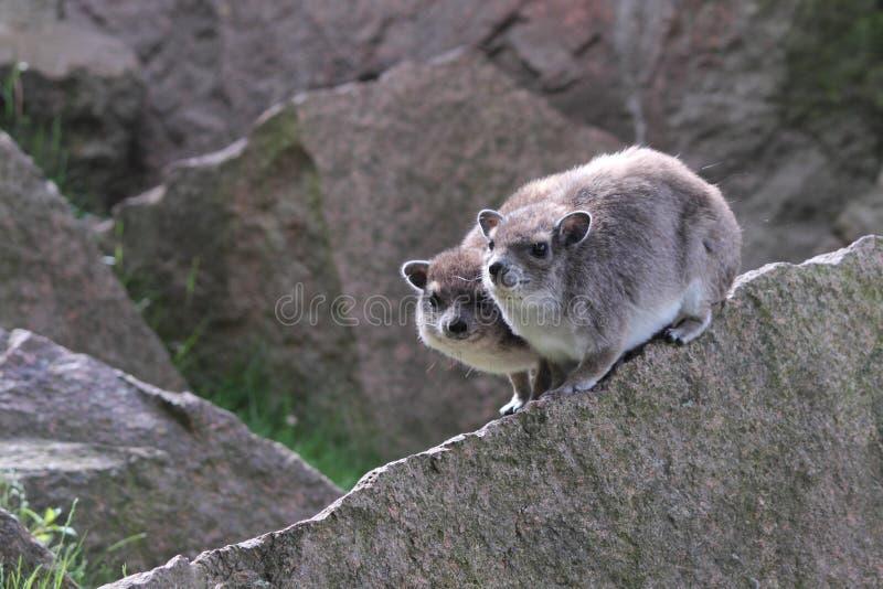 Geel-bevlekte rots hyrax stock fotografie
