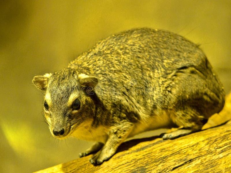 Geel-bevlekte rots hyrax, Heterohyrax-brucei, die op een rots zitten stock foto's