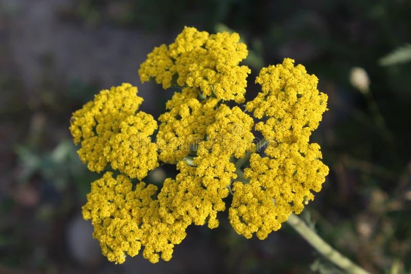 Geel bloeiend duizendblad (Achillea-millefolium) stock foto's