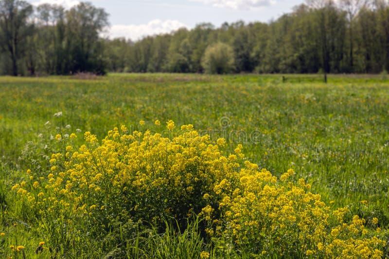 Geel bloeiend raapzaad op de rand van een groot gebied stock foto's