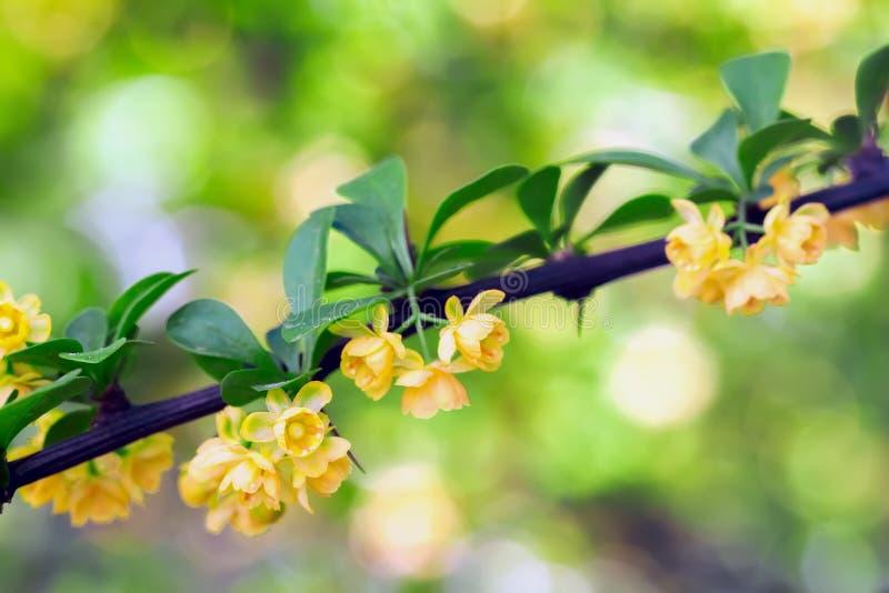 Geel bloemenclose-up Tak van bloeiende de lenteboom, zachte gestemde kleurenstijl Natuurlijke heldere achtergrond met exemplaar royalty-vrije stock foto