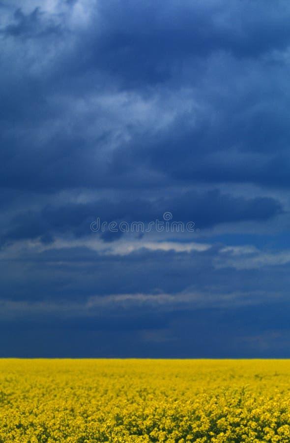 Geel bloemengebied stock afbeelding