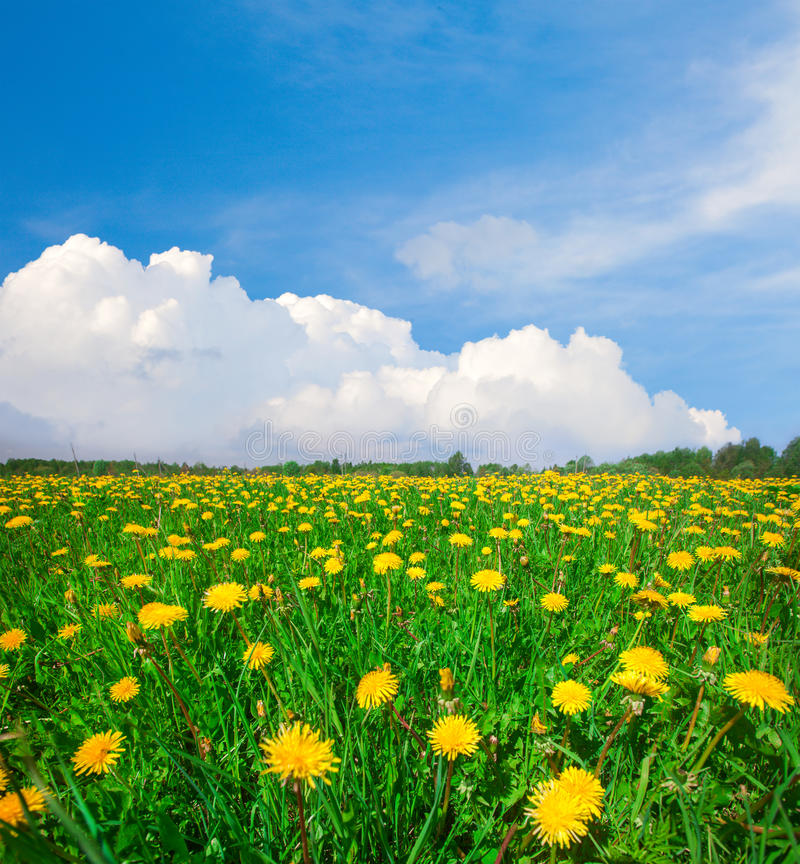 Geel bloemengebied onder blauwe bewolkte hemel royalty-vrije stock foto