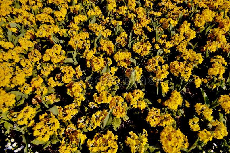 Geel Bloemgebied stock afbeeldingen