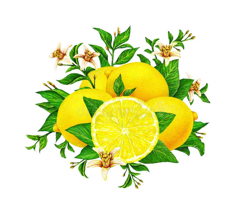 Geel citroenfruit op een tak met groene die bladeren en bloemen op witte achtergrond worden geïsoleerd Waterverftekeningen met de stock afbeeldingen
