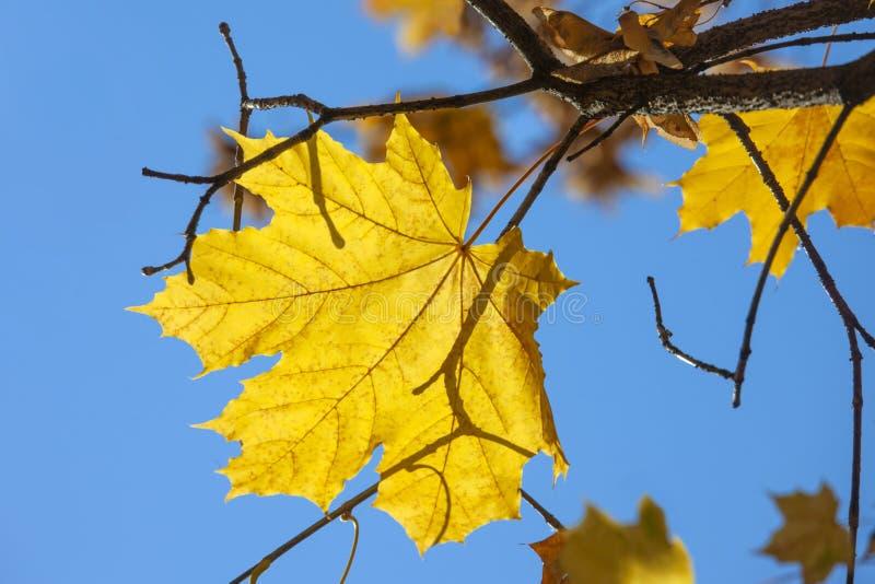 Geel de herfstblad van een esdoorn Autumn Landscape stock foto's
