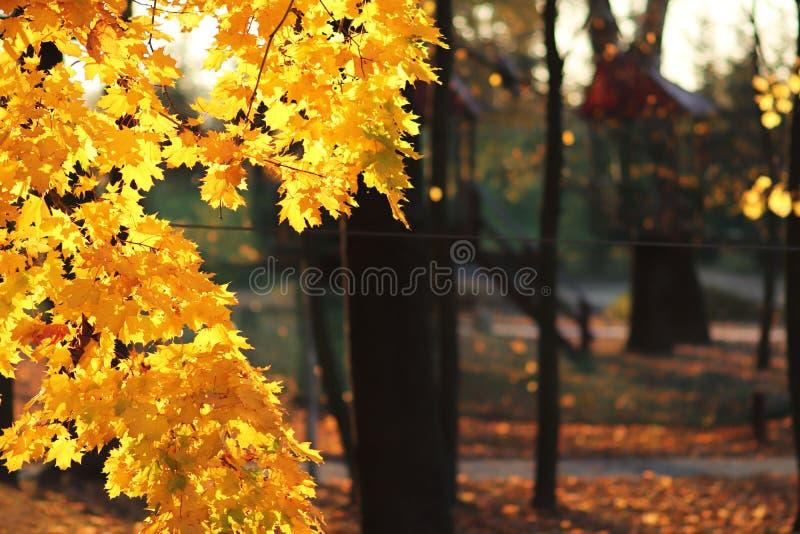Geel de herfstgebladerte in het park in de stralen van zonlicht Vergeelde esdoornbladeren Hete kleuren van de herfstbomen plaats  stock fotografie