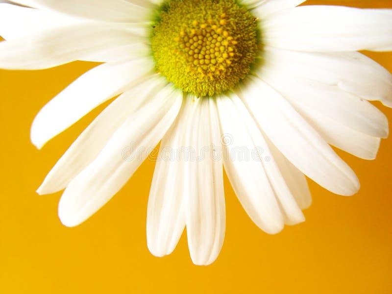 geel de zomermadeliefje stock fotografie
