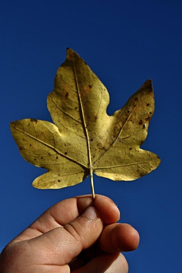 Geel die esdoorn (Acer) blad in 3 van de oude kindjaar wordt gehouden linkerhand stock afbeelding