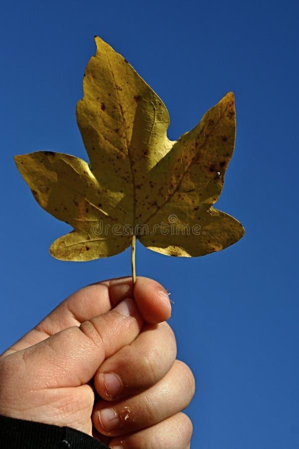 Geel die esdoorn (Acer) blad in 3 van de oude meisjesjaar wordt gehouden linkerhand stock fotografie