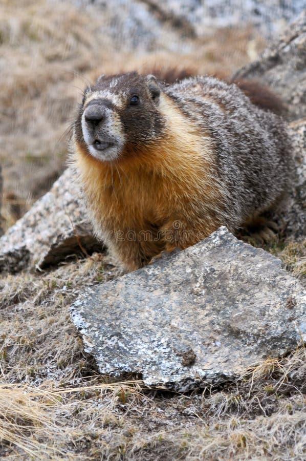 Geel-doen zwellen marmot royalty-vrije stock fotografie