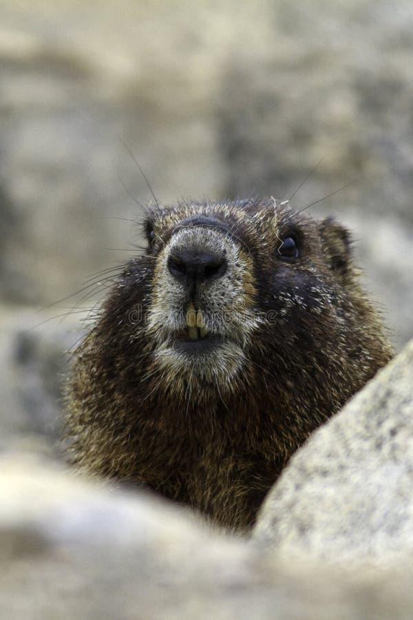Geel Doen zwellen Marmotportret royalty-vrije stock afbeeldingen