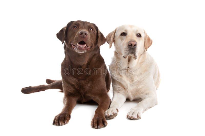 Geel en chocolade Labrador royalty-vrije stock foto's