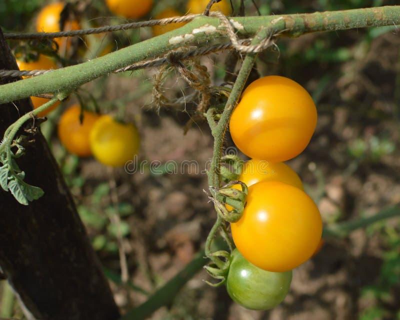 Geel en Groen Cherry Tomatoes Growing op Wijnstok royalty-vrije stock afbeelding