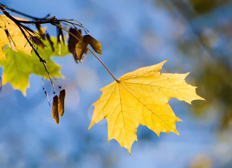 Geel esdoornblad stock afbeeldingen