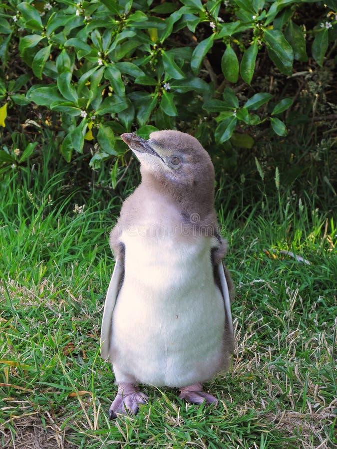 Geel-eyed babypinguïn stock foto