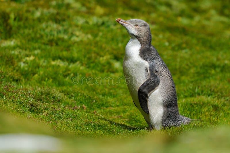 Geel-eyed Pinguïn stock foto