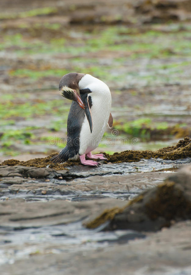 Geel-eyed Pinguïn royalty-vrije stock foto