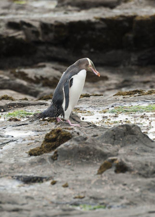 Geel-eyed Pinguïn royalty-vrije stock foto's