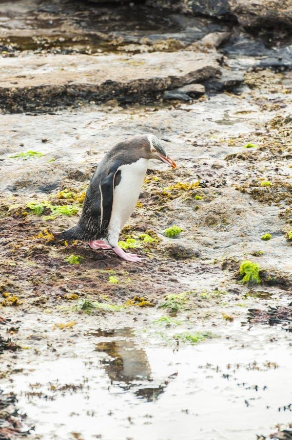 Geel-eyed Pinguïn stock afbeeldingen