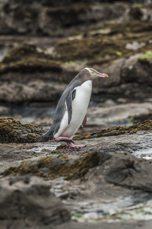 Geel-eyed Pinguïn stock fotografie