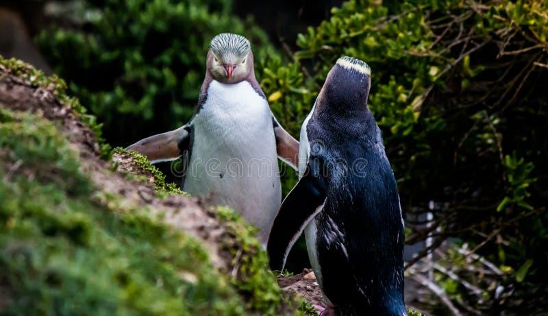 Geel-eyed pinguïn Nieuw Zeeland stock fotografie