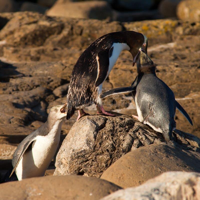 Geel-Eyed Pinguïnen NZ of Hoiho die de jongelui voeden royalty-vrije stock foto's
