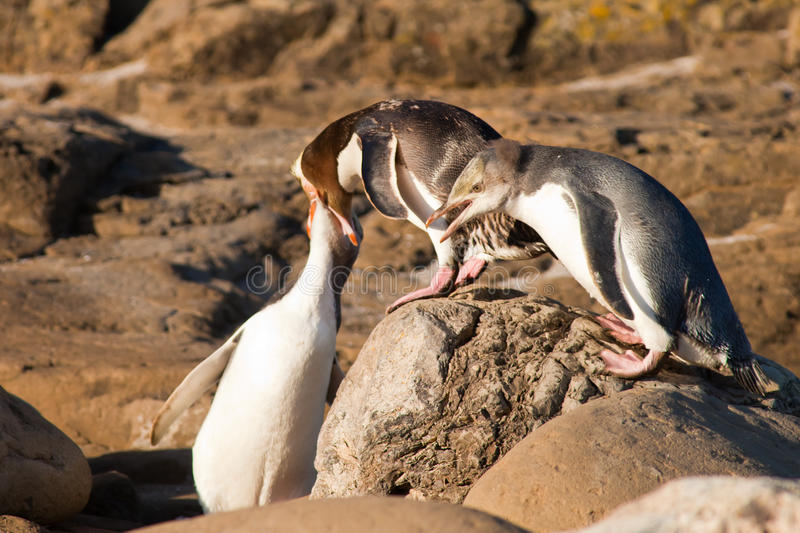 Geel-Eyed Pinguïnen NZ of Hoiho die de jongelui voeden royalty-vrije stock afbeeldingen