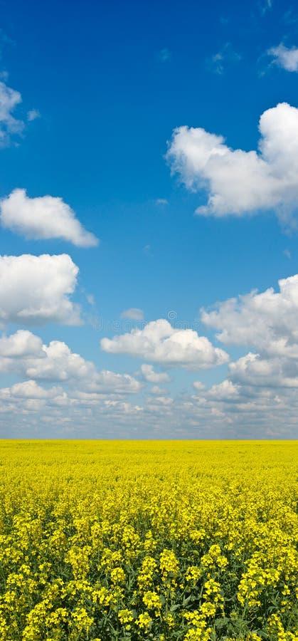 Geel gebied van verkrachtingsgewas met blauwe hierboven hemel royalty-vrije stock fotografie