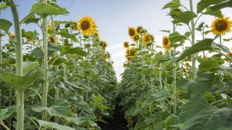 Geel gebied van zonnebloemen in de zomer onder blauwe hemel royalty-vrije stock fotografie
