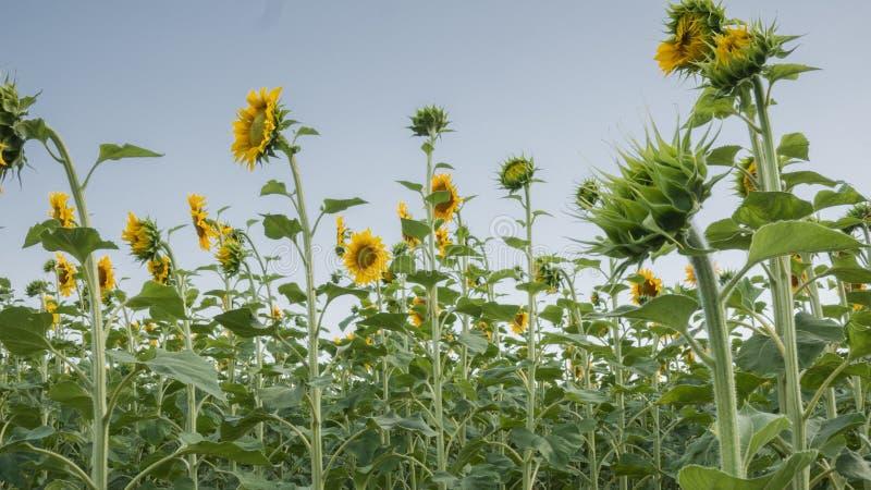 Geel gebied van zonnebloemen in de zomer onder blauwe hemel royalty-vrije stock afbeeldingen