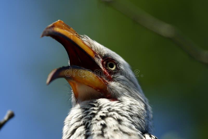 Geel-gefactureerde Hornbill stock afbeelding