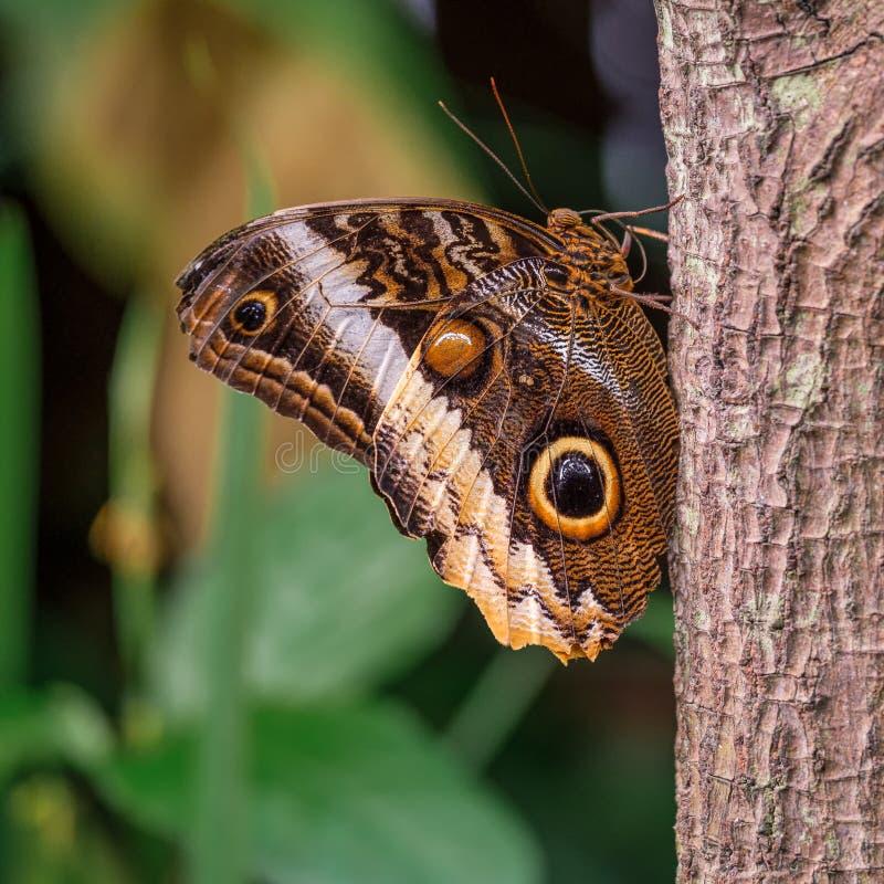 Geel-gescherpt Reuzeowl butterfly op een stam stock afbeeldingen