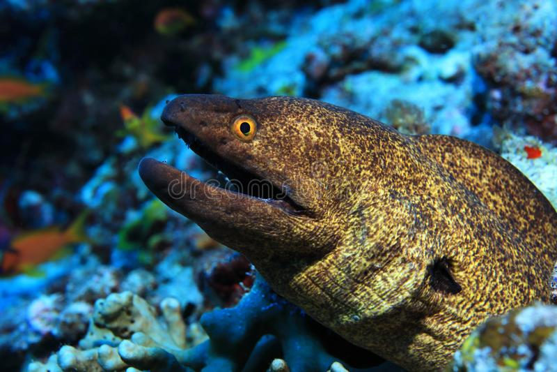 Geel-gescherpte moray paling royalty-vrije stock afbeeldingen